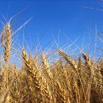 România, al șaselea producător de cereale din UE