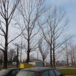 Plopii de pe calea Borsului au fost taiati dar vor fi inlocuiti de alti arbori