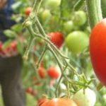 Programul Tomata, puternic afectat din cauza frigului din aprilie, susțin specialiștii Stațiunii Legumicole