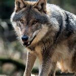 Se reaprinde discuția despre lupi