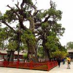 Semințele unui copac în vârstă de 5.000 de ani au încolțit după ce au fost transportate în spațiul cosmic