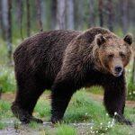 Un tânăr angajat al unei tabere de vară s-a trezit cu capul în gura unui urs