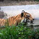Un parc național dedicat protejării tigrilor și leoparzilor a fost inaugurat în China