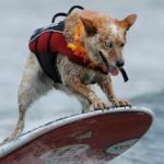 Video:Zeci de câini s-au întrecut la o competiție anuală de surfing din California