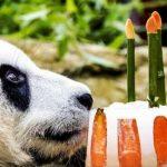 Tort de înghețată cu fructe pentru aniversarea a doi urși din specia panda uriaș, în cadrul diplomației Panda