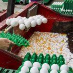 Belgia acuză Olanda că a găsit ouă contaminate cu insecticid încă din noiembrie 2016, dar nu a anunțat