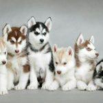 """""""Nu mai cumpărați câini husky!"""", le spune fanilor un actor din Game of Thrones"""