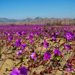 Desertul Atacama este plin de flori