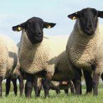 Polemică în Marea Britanie: Oilor le place sau nu să alerge?
