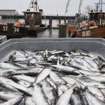 Pescarii din Marea Baltică pot prinde mai puțin Hering