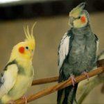 """Papagalii din Australia au o nouă pasiune: își """"ascut"""" ciocurile pe cablurile de internet producând pagube importante"""