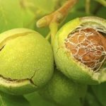 Nucilor le este permis sa cada din pom, a decis un tribunal din Germania